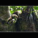 Anteater - Top of the tree - Rainforest - Corcovado National Park - Costa Rica