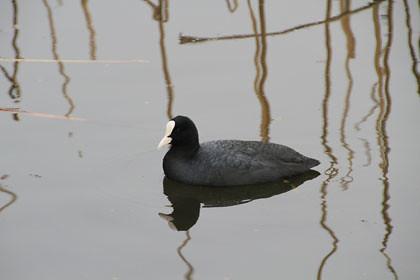 不忍池のオオバン