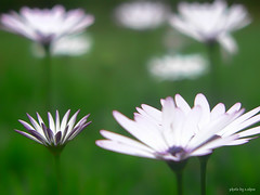 daisies (e.nhan) Tags: flowers flower closeup daisies colorful colours dof bokeh daisy enhan