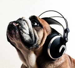 Please Don't Stop The Music (Oh beautiful world.) Tags: portrait music dog animals funny bulldog headphones englishbulldog ohbeautifulworld hannekevollbehr