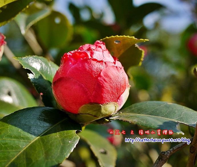 33 很美的花苞
