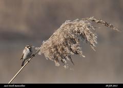 migliarino di palude (taronik) Tags: natura uccelli animali cacciafotografica