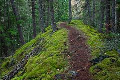 Trail to Adams River in Roderick Haig-Brown Park (Lee Rentz) Tags: trees wild canada nature forest river moss woods october path britishcolumbia salmon run trail northamerica mossy pathway salmonrun 100years sockeyesalmon redsalmon adamsriver oncorhynchusnerka