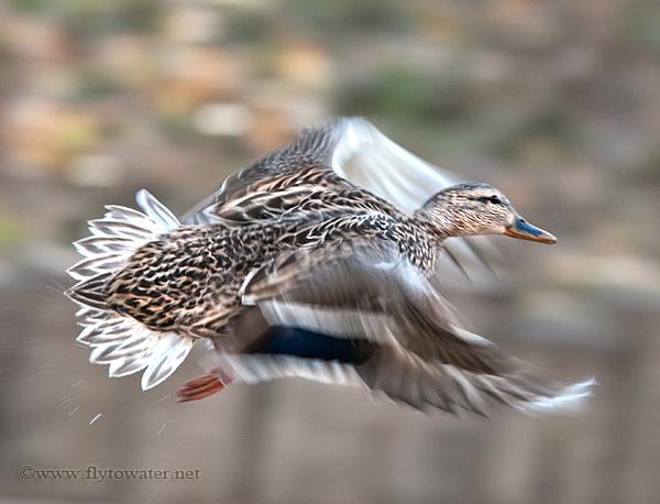Mallard Hen Wing Blur