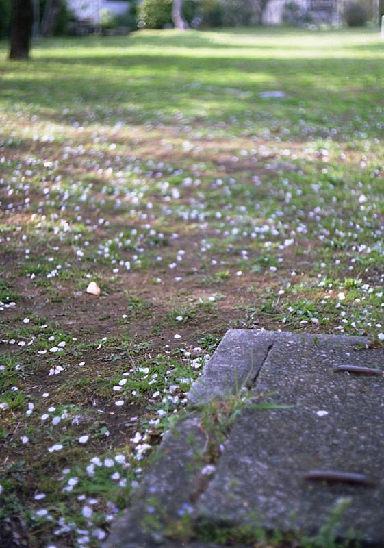 阿佐ヶ谷住宅の桜2009