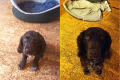 Same dog, same basket, one year later! (Patric Tysk) Tags: dog puppy hund dogge wachtel hundvalp