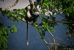 White tail (Emanuele Pavarotti) Tags: africa trees panorama mountains nature forest monkey wildlife rwanda hills jungle tropical colobus primate nyungwe