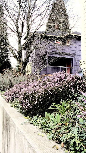 A patch of pink heather in the foreground, a tall purple house in the background