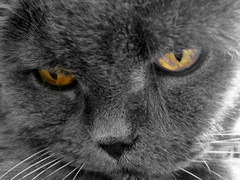 Fifi,mon chartreux (fifich@t / Franise / off) Tags: chat allrightsreserved tousdroitsrservs fifichat1 frs fificht frs