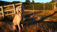 Kia ora I'm ToSH  (m+m+t) Tags: newzealand sunrise weimaraner wellington tosh morningwalk mtkaukau mmt earthasia