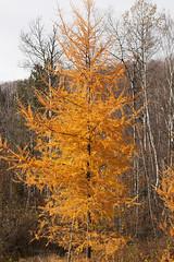 Autumn Tamaracks  04.jpg (Andre Reno Sanborn) Tags: americanlarch larixlaricina easternlarch hackmatack tamaracktree
