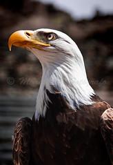 guila cabeza blanca / Americano / Explore (Marcos Rivero / Fotgrafo) Tags: park parque grancanaria canon ojo eos foto aves explore