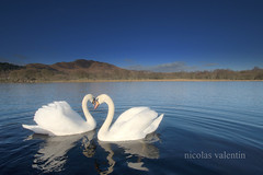 Heartland (Nicolas Valentin) Tags: scotland swan couple wilderness lochlomond scoland conichill