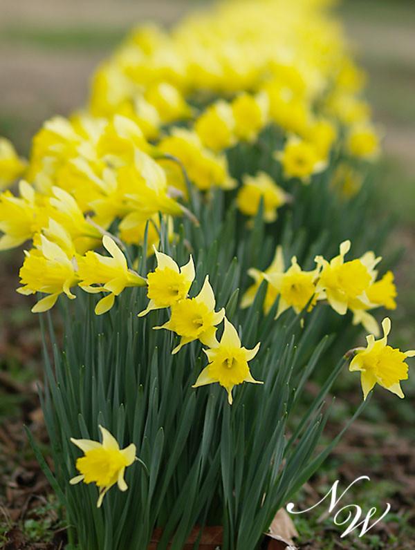 59/365 daffodil