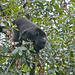 Howler Monkey (Christine George)