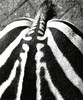 Stop staring @ my ... (Guido Havelaar) Tags: blackandwhite bw monochrome blackwhite monotone zebra schwarzweiss pretoebranco animalplanet artis noirblanc 黑白色 neroeblanco ブラックホワイト чорныбелы
