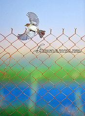 Fly away (Abdullah alJaber > AJ.SA) Tags: show bird wonderful aj photography one nice nikon perfect shoot photographer wildlife photographers kingdom 400 saudi arabia pro 28 ramadan hamad shooters d3 n1 niceone ksa abdullah   1430 saudia         aljaber   iaj       onaizah     anaizah iajme