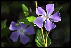 Flor (J. Tiogran) Tags: nikon flor sigma lila julin violeta solana serrano morado terranatura flowersadminfave d5000 julinsolana 70300dgos