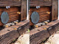 Apis mellifera, stereo parallel view (Mushimizu) Tags: 3d bee stereo parallel honeybee apismellifera  hft012 lumixg125f12