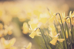 66/365 {daffs, init} (Ly (Lyanne Wylde Photography)) Tags: flowers sunshine photography spring nikon 85mm wylde daffs 85mmf14 lyanne d700 lyannewylde