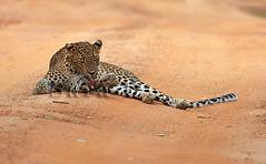 Leopards of Yala 4 (Sara-D) Tags: animals leopard bigcat srilanka ceylon bigcats yala wildanimals panthera pardus srilankaleopard pantheraparduskotiya kotiya