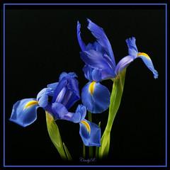 Beautiful blue iris (rittenc) Tags: iris flower blueflower doublefantasy