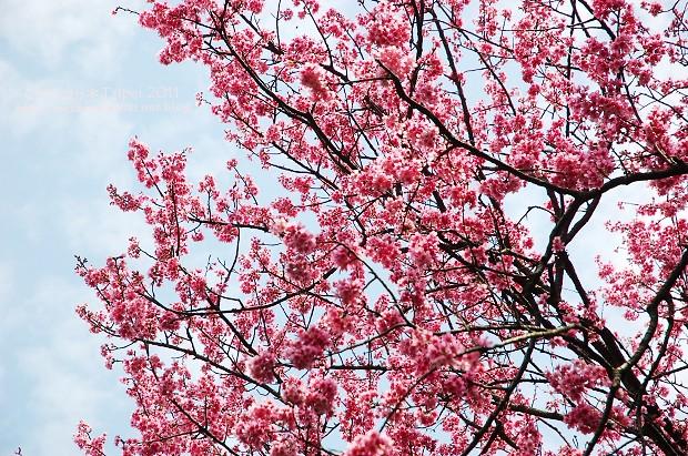 2011陽明山花季12.jpg