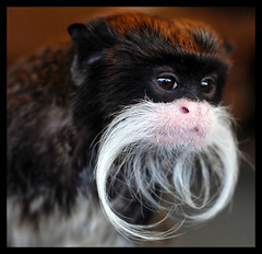 Emperor Tamarin (EXPLORE) (Steve Wilson - over 2 million views thank you) Tags: uk brazil portrait england brown white black macro peru southamerica nature up animal closeup america forest mammal zoo monkey amazon nikon rainforest close wildlife south small tan lancashire moustache explore american jungle tropical endangered d200 captive primate blackpool rare emperor captivity smallest tamarin imperator emperortamarin omnivore blackpoolzoo saguinusimperator nikond200 saguinus explored specanimal