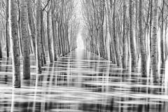 flood wave #4 (nicola tramarin) Tags: wood longexposure trees italy water alberi poplar italia flood grove wave bn po piena biancoenero pioppi veneto rovigo monocromatico lungaesposizione polesine nicolatramarin