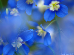 blooms the blue flowers in hope.. (Marie Eve K.A. (Away)) Tags: blue blur flower macro love nature japan closeup hope spring dof bokeh f14 85mm olympus delphinium planar ep2 carlzeiss