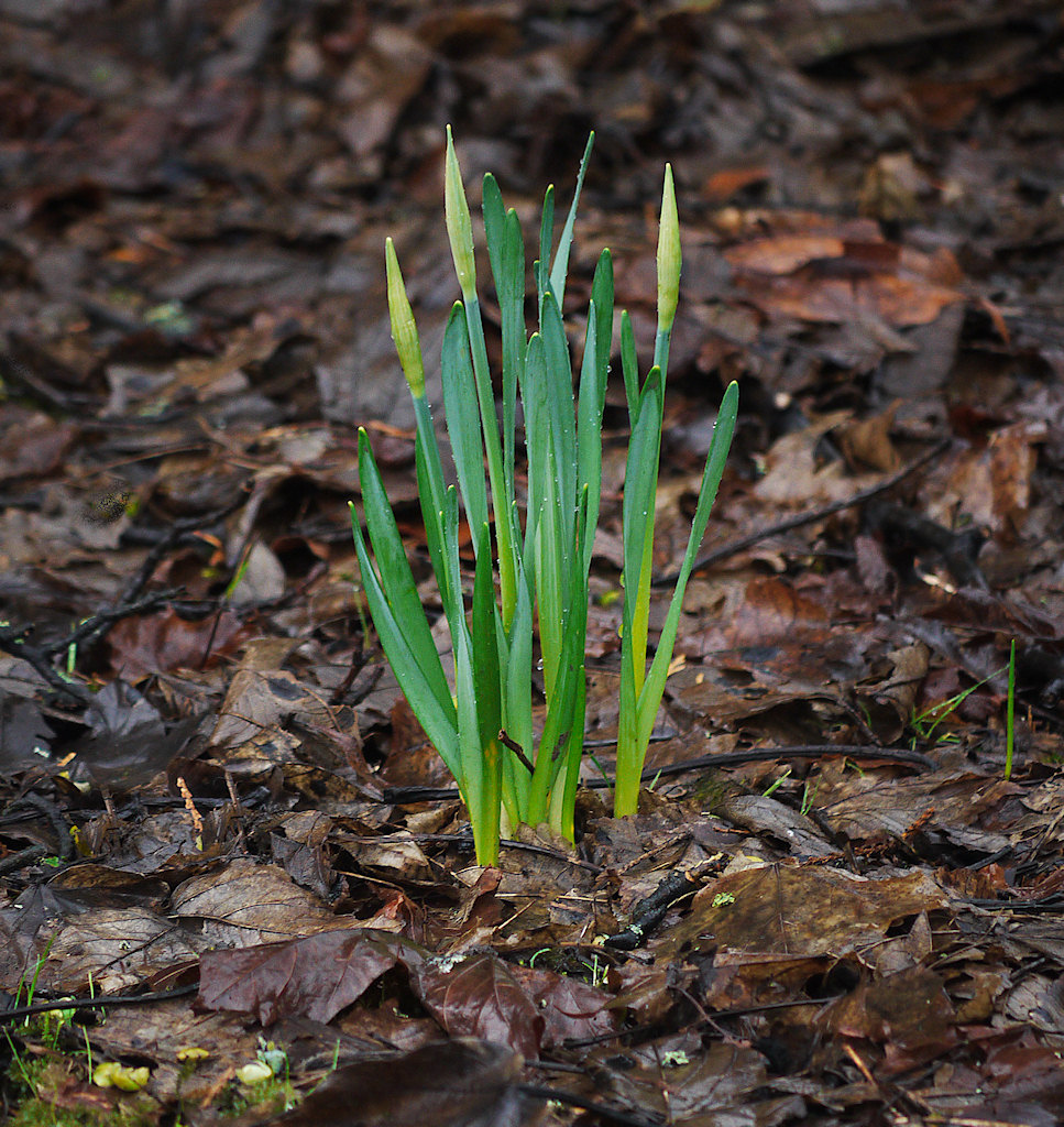 sprouting daffs