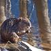 Just a Beaver (Justin Beaver) 2