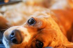 Winston! (WilliamMarlow) Tags: dog pet pets dogs 35mm prime nikon creative commons canine cc creativecommons cocker winston k9 fallschurch fallschurchva d40 americancocker fallschurchvirginia nikond40