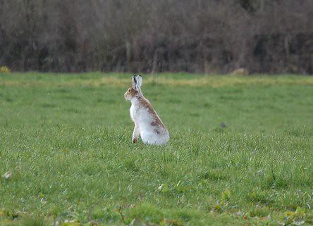 Irish White Hare