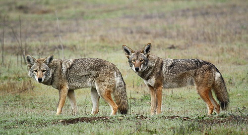 Coyote Pack (Part 1 of 5)