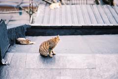 F1000018 (Lin.y.c) Tags: cat kodak contax gato g2 100 gatto 貓 ektar g90 g45 ektar100 侯硐g2