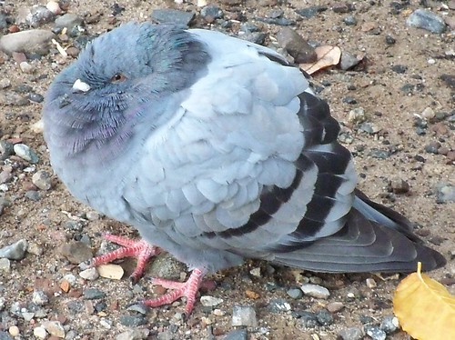 Puffy the pigeon