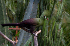 Punked out green Turaco (Eyesplash - There is a change in the air.) Tags: pink blue red orange brown white black green bird colors birds yellow vancouver colours baldeagle feathers parrot finch africangrey americanbittern macaw parrots steveston sandhillcranes goldenpheasant snowgeese sawwhetowl trumpeterswan northernpintail redwingblackbird nightheron snowgoose tauracopersa anawesomeshot greenturaco mcmillanbloedelconservatory reifelbirdsnactuary pleaserespectanyuseagewithpermissionsonly