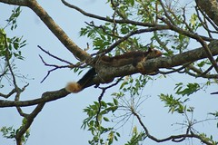 giant squirrel (LaylaLee) Tags: park india national gandhi karnataka rajiv