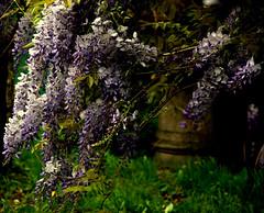 e il glicine era qui, a rifiorire (giulifff) Tags: wisteria