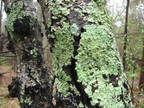 Pretty Bright Green Lichen