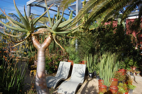 Kokerbom - Aloe dichotoma