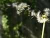 i hear them, whispers. (lizmonsterx) Tags: summer plant motion nature outside wind blow dandelion