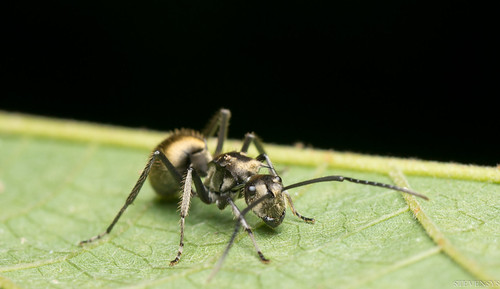 Golden Spiky Ant