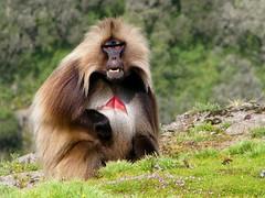 Male Gelada (Linda DV) Tags: africa travel canon geotagged monkey baboon ethiopia primate 2010 simienmountains geladababoon dschelada specanimal theropithecusgelada semienmountains powershots5is natureselegantshots blutbrustpavian lindadevolder thebestofmimamorsgroups