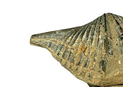 Brachipoda   Mucrospirifer   thedfordensis   Middle Devonian   Arkona Ontario   Canada   4.jpg (ShutterStone.com) Tags: canada 4jpg mucrospirifer middledevonian arkonaontario brachipoda thedfordensis
