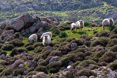 Sheep (Malc ) Tags: photo nikon mediterranean photos hellas greece lesvos lesbos eresos mytilene d90 mitilini  photosof eressos mitilene nikond90     malcc malcolmchapman   malcolmpchapman