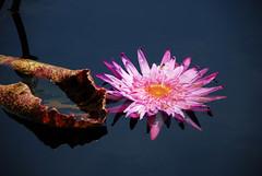 ...... (SedaSahin) Tags: pink garden nikon conservatory waterliliy pembe nilfer ninpha
