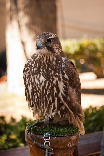 Saker Falcon/Halcon