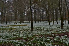 (IanAWood) Tags: raw snowdrops berkshire welford nikkor60mmf28micro welfordpark d3s snowdropwood lambournevalley walkingwithmynikon